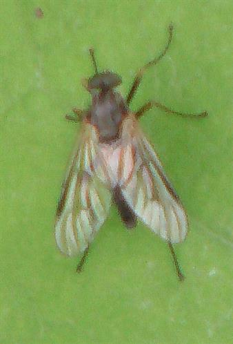 Schnepfenfliege(Rhagio lineola)