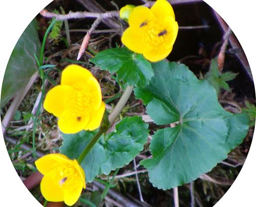 Blüten der Sumpfdotterblume(Caltha palustris(L.))