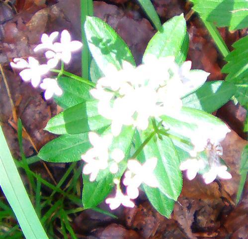 Waldmeister(Galium odoratum(L.)Scop.)