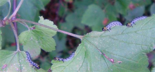 Larven von Blattwespen an Johannisbeere.jpg