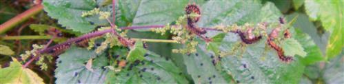 Raupen des Landkärtchen(Araschnia levana(L. 1758)) auf Brennnessel 1