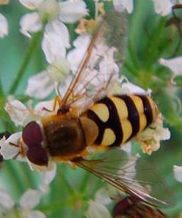 Große oder gemeine Garten-Schwebfliege(Syrphus ribesii(L. 1758))