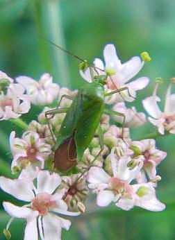 Grüne Futterwanze(Lygocoris pabulinus)
