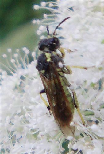 Blattwespe(Tenthredo mesomela) 1
