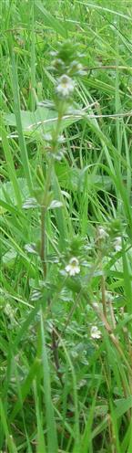 Gemeiner Augentrost(Euphrasia rostkoviana(L.))