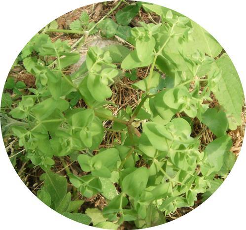 Garten-Wolfsmilch(Euphorbia peplus(L.))1