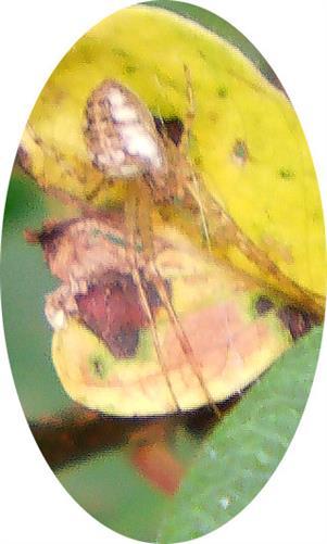 Herbstspinne(Metellina segmentata(L.))