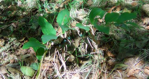 Vielblütige Weißwurz(Polygonatum mulitflorum(L.) All.) fruchtend