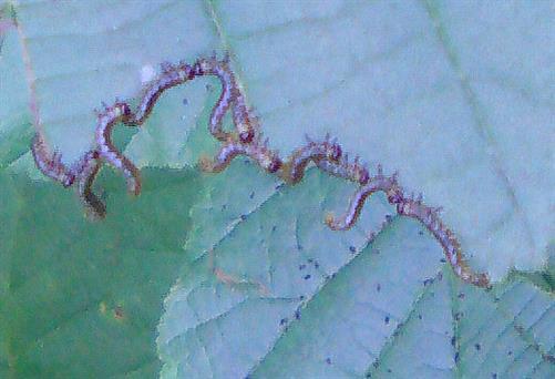 Blattwespenlarven am Haselblatt(Corylus avelana(L.)) fressend