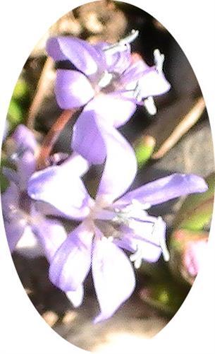 (Zweiblättriger) Blaustern(Scilla(bifolia(L.))