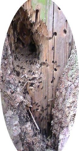 Von (Holz-)Ameisen bewohnter Fichtenstamm(Zusatzfoto)