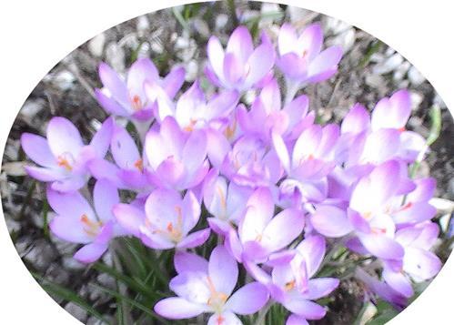 Elfenkrokus(Crocus tommasinianus(Herb.))