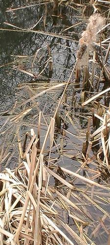 Breitblättriger Rohrkolben(Typha latifolia(L.)) fruchtend(letztjährig)