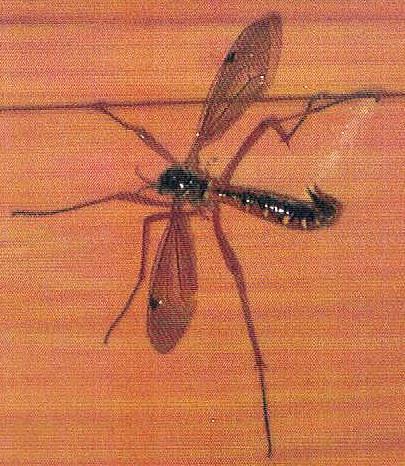 schwarze Kammschnake(Tanyptera atrata(L. 1758))