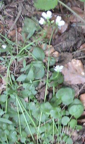 Behaartes Schaumkraut(Cardamine hirsuta(L.))
