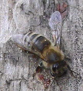 Westliche Honigbiene(Apis mellifera(L. 1758)) 5