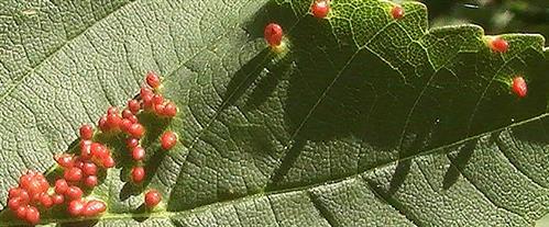 Galle einer Gallmilbe(Eriophyidae)(Aceria cephalonea)