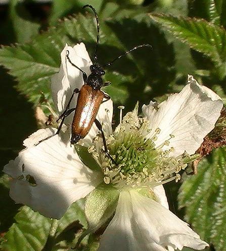 Kleiner Halsbock oder bleicher Blütenbock(Pseudovadonia livida(Fabricius 1776)) auf Brombeerblüte