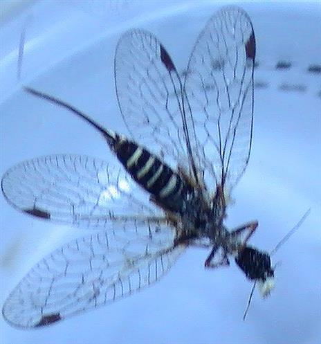 Kamelhalsfliege(Unterseite) Rhaphidioptera