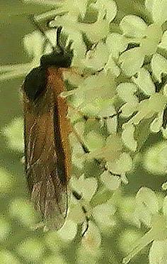 Rübsen-Blattwespe(Athalia rosae(L. 1758))