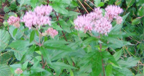 Gewöhnlicher Wasserdost(Eupatorium cannabinum))