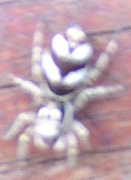 Zebraspringspinne(Salticus scenicus(Blackwall 1841))