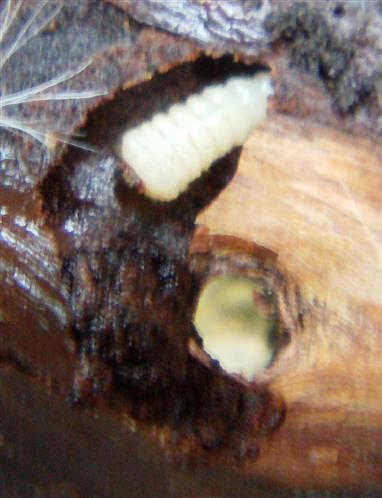 Bohrgang einer Bockkäferlarve(Cerambycidae)
