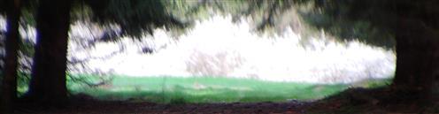 Waldlichtung mit blühendem Schlehengebüsch(Prunus spinosa(L.))