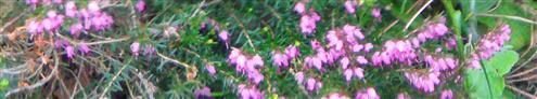 Besenheide(Calluna vulgaris(L.)Hull)