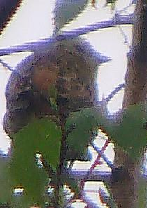 Goldammer(Emberiza citrinella(L. 1758)) Männchen