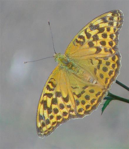 Kaisermantel(Argynis paphia) 5