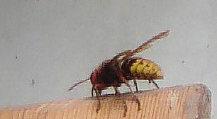 Hornisse(Vespa crabro(L. 1758)) beim Sammeln von zerkautem Holz als Nistmaterial