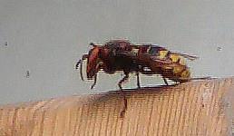 Hornisse(Vespa crabro(L. 1758)) sich putzend