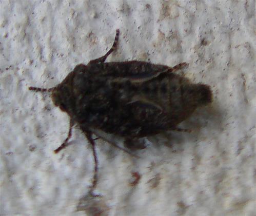 Buchen-Frostspanner (Operophtera fagata(Scharfenberg 1805)) Weibchen