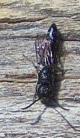 Töpfergrabwespe (Trypoxylon(Latreille 1796))