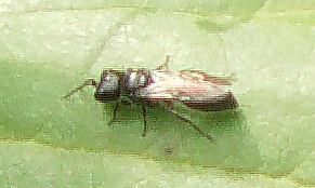 Grabwespe (Pemphredon lethifer(Suckard 1837))