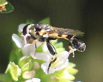 Gemeine Keulenschwebfliege(Syritta pipiens(L. 1758))