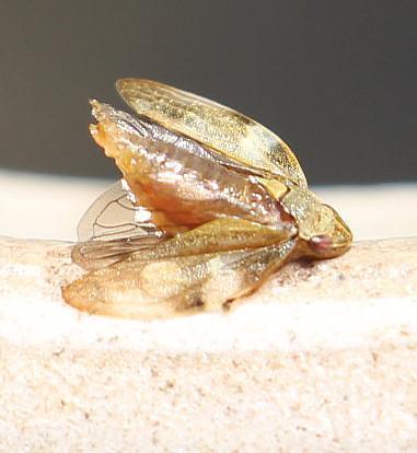 Wiesenschaumzikade(Philaenus spumarius(L. 1758))