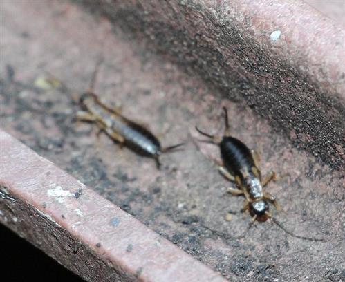 Gemeiner Ohrwurm(Forficula auricularia(L.))