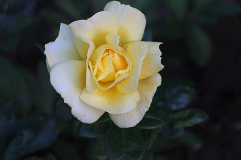 Gelbe (Tee-)Rose(Rosa)