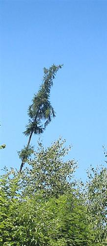 Gemeine Fichte(Picea abies(A. Dietr.)) auf der Hirzenhainer Anhöhe als