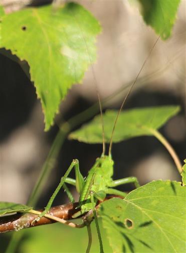 Weibliche Nymphe des Grünen Heupferdes(Tettigonia viridissima(L. 1758))