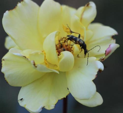 Gefleckter Schmalbock(Rutpela maculata(Poda 1761)) auf gelber Rose
