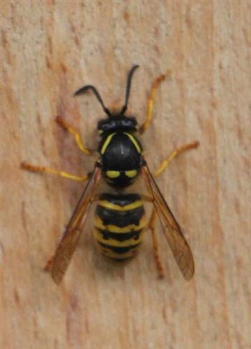 Gemeine Wespe(Vespula vulgaris(L. 1758)) bei der Holzaufnahme zur Herstellung ihres