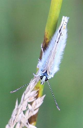 Geißkleebläuling(Plebejus argus(L. 1758))