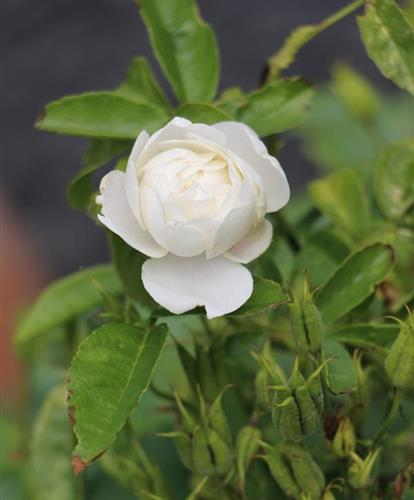 Rose(Rosa) weiß