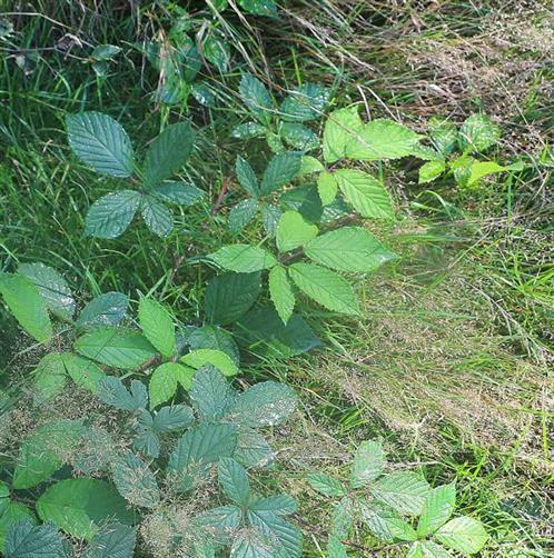 Morgentau auf Brombeerblättern(Rubus fruticosus)