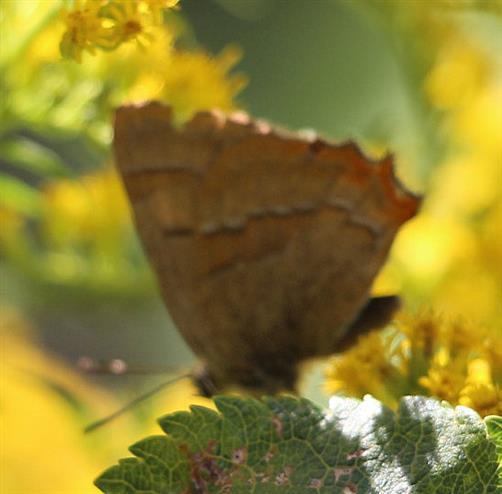 Nierenfleck-Zipfelfalter(Thecla betulae(L. 1758))