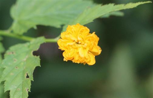 Japanische Kerrie(Kerria japonica(L.)DC. (Zuchtform))