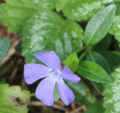 Kleines Immergrün(Vincia minor(L.))